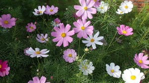 Our cosmos flowers.