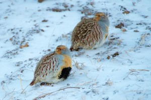 daurina-partridge-pair-n